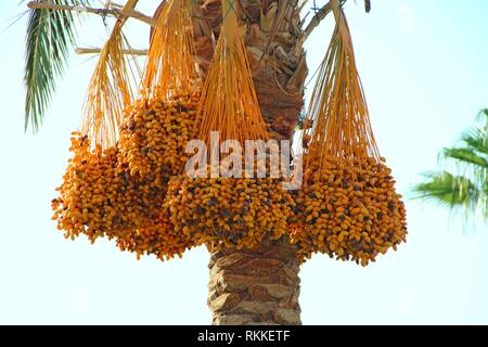 Ripe fruits of date tree hang on tree. Dates hang on tree. Tropical fruits. Close up clusters yellow ripe dates hanging on date palm. Riped date - Stock Photo