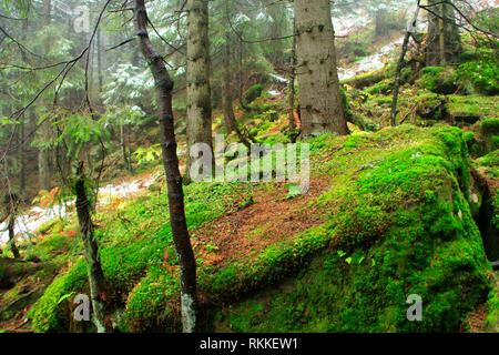 Big stone stone overgrown with green moss in dense forest. Evergreen wood. Mountain forest in dense mist. Evergreen forest with big spruces and mossy - Stock Photo