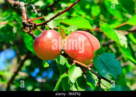 Ripe apricot fruits on branch. Apricot crop on tree. Two ripe apricot fruits. Appetizing ripe apricots on tree branch with green leaves. Closeup. - Stock Photo