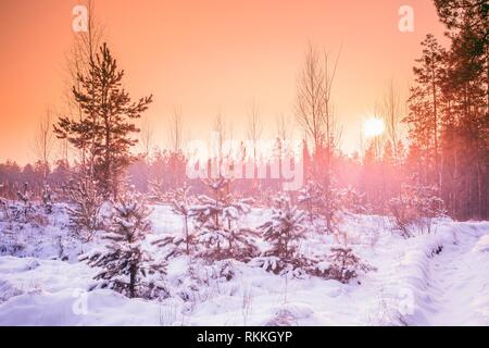 Gomel, Belarus. Beautiful Sunset Sunrise In Sunny Winter Snowy Forest. Sun Shine Over Winter Woods. - Stock Photo
