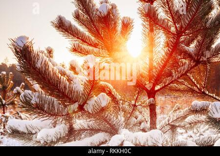 Gomel, Belarus. Beautiful Sunset Sunrise In Sunny Winter Snowy Forest. Sun Shine Over Winter Woods. Close Up Of Pine Branches. - Stock Photo