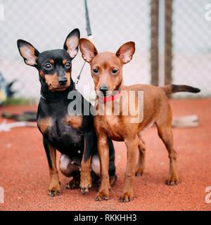 Two Friendly Brown And Black Miniature Pinschers Pinchers Staying Together On Red Floor. - Stock Photo