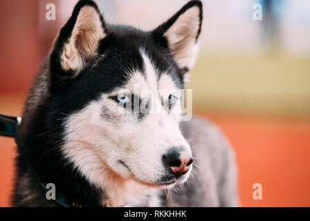 Close up blue-eyed Adult Siberian Husky Dog portrait. - Stock Photo