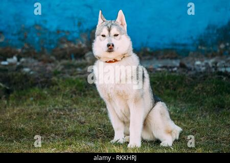 Young Funny Gray Husky Puppy Dog Outdoor Against Blue Old Wall. - Stock Photo