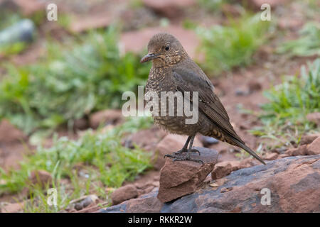 Blue Rock Thrush (Monticola solitarius), adult female standing on the ground - Stock Photo