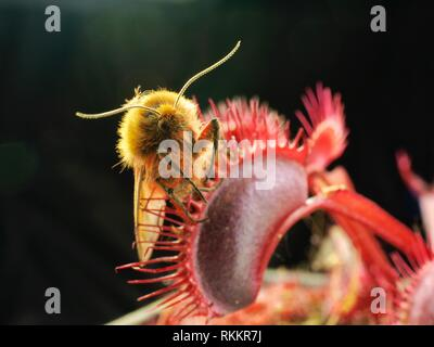 A moth is caught in a bright red carnivorous Venus Fly Trap plant, set against a black background. - Stock Photo
