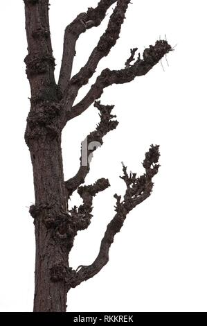 Bare winter tree trunk and branches almost silhouette dark isolated on white. - Stock Photo