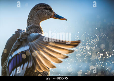 Female mallard drying her wings out after a bath. - Stock Photo