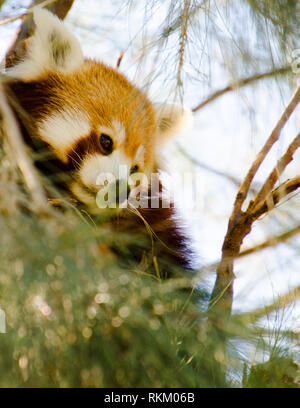 Close up of a pretty Red Panda (Ailurus fulgens) looking down from tree branches. Curious Red Panda keeps a watchful lookout. - Stock Photo
