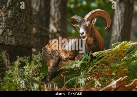 Common or European mouflon (Ovis orientalis musimon). Andalusia. Spain. - Stock Photo
