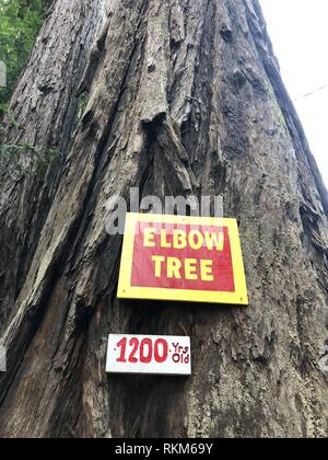 Elbow Tree at California Redwoods Confusion Hill State Park area is one of the oldest known trees at over 1200 years old. - Stock Photo