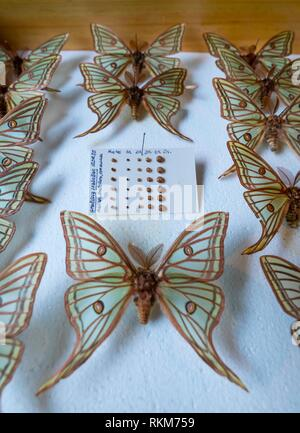 Scientific studies on butterfly MARIPOSA ISABELINA - SPANISH MOON MOTH Spanish (Graellsia isabellae), The Ports Natural Park, Terres de L'Ebre, - Stock Photo