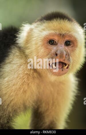 White Faced Capuchin Monkey (Cebus capucinus). Roatan, Honduras. Also know as the white headed capuchin or the white throated capuchin. Gumbalimba - Stock Photo