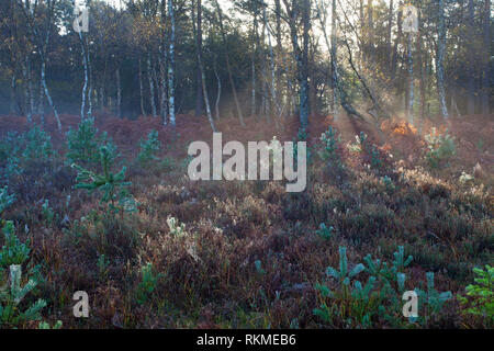 Heathland with Silver birch Betula pendual beyond Vinney Ridge New Forest National Park Hampshire England UK - Stock Photo