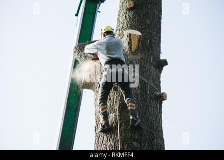 treeclimber tree cutter with chainsaw climbed on top. - Stock Photo