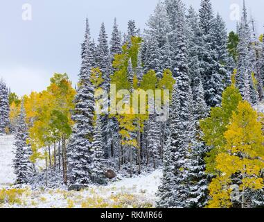 Snowing in the forest. Autumn. Big Cottonwood Canyon, Wasatch Range, Salt Lake City, Utah, Usa, America. - Stock Photo