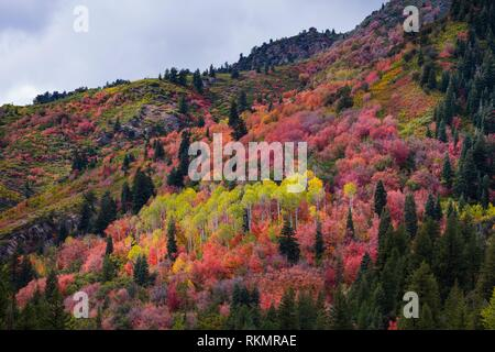 Forest in Autumn. Big Cottonwood Canyon, Wasatch Range, Salt Lake City, Utah, Usa, America. - Stock Photo