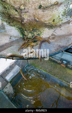 Release of European Eels in the Saja River to strengthen the population and avoid its disappearance. EUROPEAN EEL (Anguilla anguilla), Terán de - Stock Photo