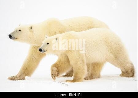 Polar Bear (Ursus maritimus) Yearling cub and mother walking, Wapusk NP, Cape Churchill, Manitoba, Canada. - Stock Photo
