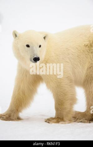 Polar Bear (Ursus maritimus) Yearling cub with mother close by, Wapusk NP, Cape Churchill, Manitoba, Canada. - Stock Photo