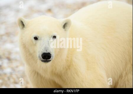 Polar Bear (Ursus maritimus) Yearling cubs with mother close by, Wapusk NP, Cape Churchill, Manitoba, Canada. - Stock Photo