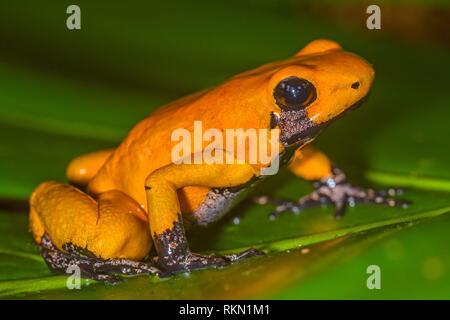 Golden poison frog (Phyllobates terribilis) Orange black foot, Understory Enterprises, Captive raised, Native to: Colombia. - Stock Photo
