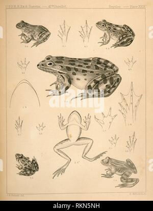 1. Pana halecina, Spotted Frog, b. under surface of head, c. under surface of left fore foot, d. under surface of left hind foot; 2. Rana boylii, - Stock Photo