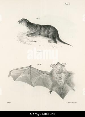 1. The North American Otter (Lutra canadensis). 2. The Little Brown Bat (V. subulatus). De Kay, James E. (James Ellsworth), 1792-1851 (Author). Stock Photo