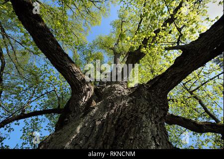 Big old Lime tree (Tilia spec. ) in spring with fresh green leaves. Bavaria, Germany. - Stock Photo