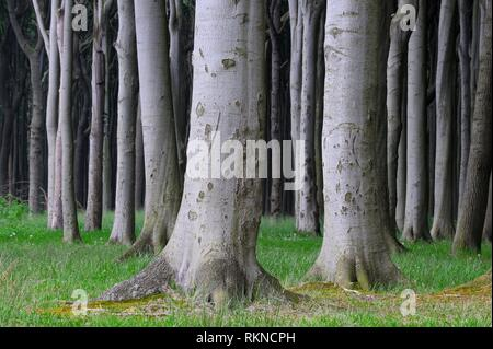 Beech tree (Fagus sylvatica) forest. Mecklenburg Vorpommern, Mecklenburg-Western Pomerania, Germany. - Stock Photo