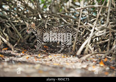 Ocelot (Leopardus pardalis), endangered species in mangrove forest. Roatan, Bay Islands Honduras, Central America, Latin America. - Stock Photo