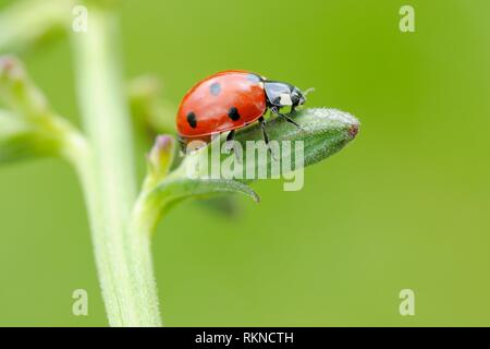 Seven spot Ladybird (Coccinella septempunctata). Franconia, Bavaria, Germany. - Stock Photo