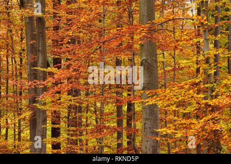 Forest in autumn colours. Bavaria, Germany. - Stock Photo