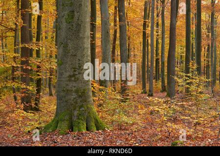 Forest in autumn colours. Spessart, Bavaria, Germany. - Stock Photo