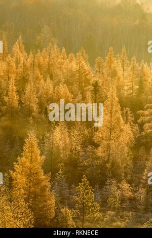 Autumn larches in the morning mist and frost, Greater Sudbury, Ontario, Canada. - Stock Photo
