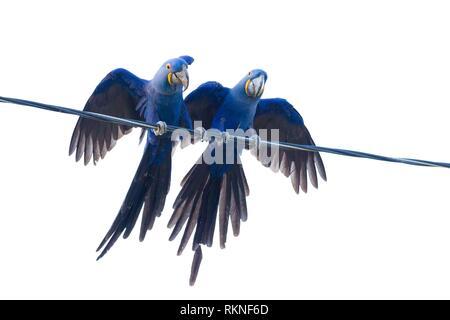 Hyazinth macaws, Anodorhynchus hyacinthinus, sitting on power line, Mato Grosso, Pantanal, Brazil. - Stock Photo