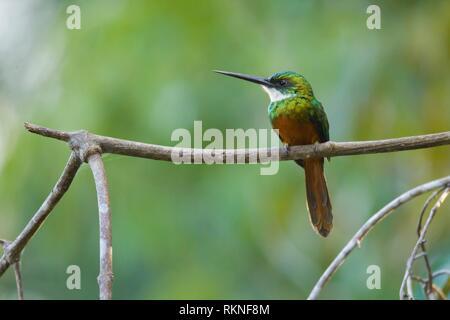 Rufous-tailed Jacamar, Galbula ruficauda, Pantanal, Brazil. - Stock Photo