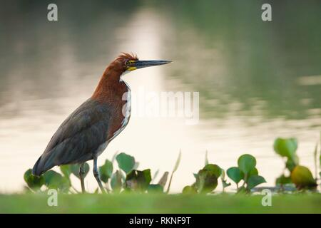 Rufescent Tiger-Heron (Tigrisoma lineatum), Pantanal, Brazil, South America. - Stock Photo