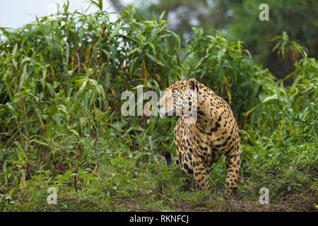 Adult Jaguar (Panthera onca) in the Pantanal region, Mato Grosso, Brazil. - Stock Photo