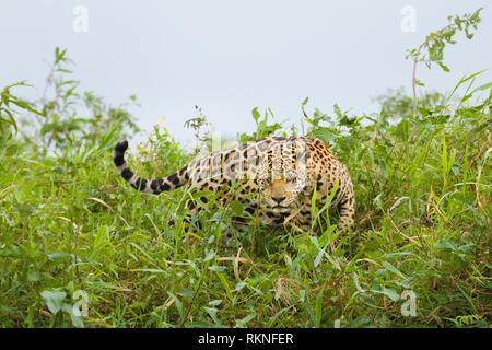 Jaguar (Panthera onca) with injured eye, searching for pray, Pantanal, Mato Grosso, Brazil. - Stock Photo