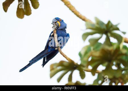Hyazinth macaw, Anodorhynchus hyacinthinus, in tree, Mato Grosso, Pantanal, Brazil. - Stock Photo