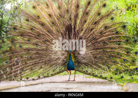 Portrait of a beautiful and colorful Blue Ribbon Peacock in full feather while it was trying to attract the attention of a nearby female - Stock Photo