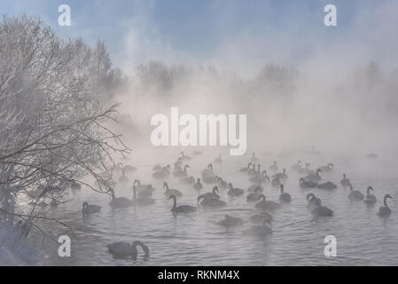 Beautiful winter morning with heavy fog on the lake, swans, ducks and trees in the frost in the bitter cold - Stock Photo
