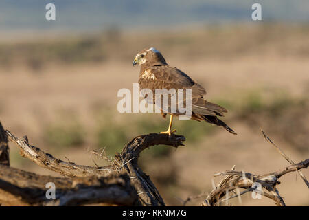 A single juvenile African marsh harrier perched on a fallen dead tree branch in early morning light, Lewa Wilderness, Lewa Conservancy, Kenya, Africa - Stock Photo