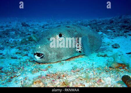 Starry pufferfish (Arothron stellatus) laying on the sea bottom and sleeping, Indian Ocean, Maledives, South Asia. - Stock Photo