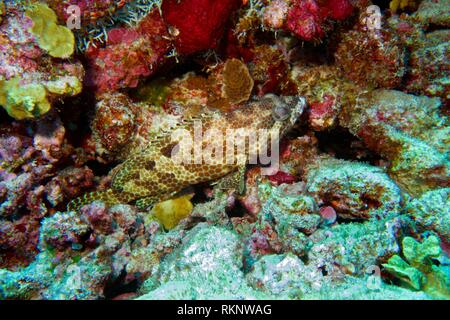Greasy Grouper (Epinephelus tauvina) laying on the ground, hidden between colorful overgrown rocks and corals, Indian Ocean, Maledives, South Asia. - Stock Photo