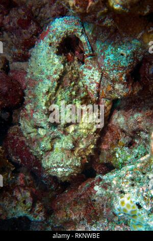 Dead Reef Stonefish (Synanceia verrucosa) laying between corals and waiting for prey on the reef, Indian Ocean, Maledives, South Asia. - Stock Photo