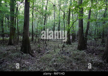 Old-Growth Wetlands, Congaree National Park - Stock Photo