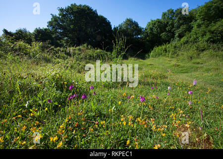 Wild flowers on Broughton Down Hampshire and Isle of Wight Wildlife Trust Reserve near Broughton Hampshire England UK June 2016 - Stock Photo