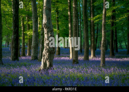 Forest floor covered with blooming bluebells in Tollymore Forest Park, Northern Ireland. - Stock Photo
